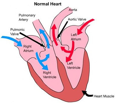 Boxer breed council aortic stenosis heart animation 2 aortic stenosis ccuart Choice Image